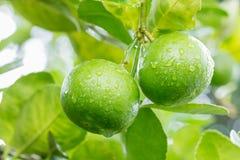 Πράσινοι ασβέστες λεμονιών στο δέντρο Στοκ φωτογραφία με δικαίωμα ελεύθερης χρήσης