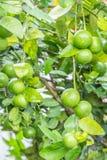 Πράσινοι ασβέστες λεμονιών στο δέντρο Στοκ Εικόνα