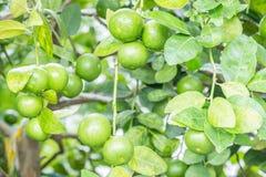 Πράσινοι ασβέστες λεμονιών στο δέντρο Στοκ Φωτογραφίες