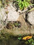 Πράσινοι βάτραχοι Στοκ Εικόνα