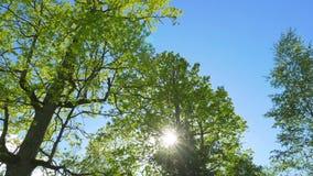 Πράσινοι βαλανιδιές και ήλιος άνοιξη απόθεμα βίντεο