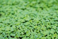 Πράσινοι βλαστοί της μουστάρδας Στοκ Εικόνες