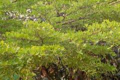 Πράσινοι θάμνοι δέντρων, ο Μπους φύλλων φύσης, ο πράσινος δονούμενος Μπους πυξαριού στοκ φωτογραφία με δικαίωμα ελεύθερης χρήσης