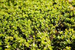 Πράσινοι θάμνοι Στοκ Εικόνα