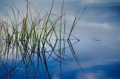 Πράσινοι κάλαμοι στο μπλε νερό στοκ φωτογραφία με δικαίωμα ελεύθερης χρήσης