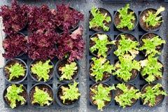 Πράσινοι και κόκκινοι νεαροί βλαστοί φυτών μαρουλιού μωρών στα δοχεία Στοκ εικόνες με δικαίωμα ελεύθερης χρήσης
