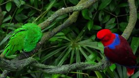 Πράσινοι και κόκκινοι παπαγάλοι ζευγών απόθεμα βίντεο