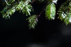 Πράσινοι κλάδοι γουνών - bokeh στοκ φωτογραφίες