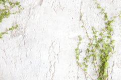 Πράσινοι κλάδοι δέντρων στο άσπρο υπόβαθρο πετρών Στοκ εικόνες με δικαίωμα ελεύθερης χρήσης