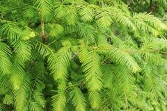 Πράσινοι κλάδοι και φύλλα του πυρετού χρυσοθηρίας, Dawn Redwood, Metase στοκ εικόνες
