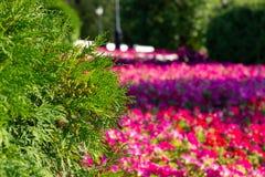 Πράσινοι κλάδοι του thuja στο υπόβαθρο των φωτεινών χρωμάτων Τα κόκκινα λουλούδια στοκ εικόνα με δικαίωμα ελεύθερης χρήσης