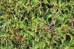Πράσινοι κλαδίσκοι του thuja Στοκ φωτογραφία με δικαίωμα ελεύθερης χρήσης