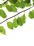 πράσινοι κλαδίσκοι Στοκ εικόνα με δικαίωμα ελεύθερης χρήσης