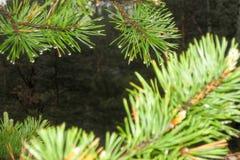 Πράσινοι κομψοί κλάδοι με τις πτώσεις δροσιάς Στοκ φωτογραφία με δικαίωμα ελεύθερης χρήσης
