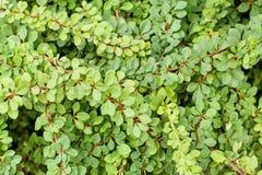 Πράσινοι κλάδοι και φύλλα του πράσινου τάπητα thunbergii Berberis Στοκ Εικόνες