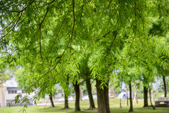 Πράσινοι κλάδοι και φύλλωμα ενός φαλακρά δέντρου & x28 κυπαρισσιών Taxodium distichum& x29  Στοκ εικόνα με δικαίωμα ελεύθερης χρήσης
