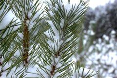 Πράσινοι κλάδοι καλυμμένου του πεύκο-δέντρο χιονιού στοκ εικόνα
