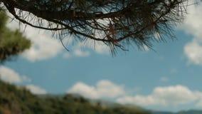 Πράσινοι κλάδοι της ανάπτυξης πεύκων στο δάσος ακρών τη θερινή ημέρα απόθεμα βίντεο