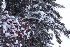 Πράσινοι κλάδοι του πεύκου και του κόκκινου μούρου χιονισμένων Στοκ Εικόνες