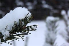 Πράσινοι κλάδοι του πεύκου χιονισμένου στο χειμερινό δάσος στοκ φωτογραφία