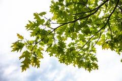 Πράσινοι κλάδοι του δρύινου δέντρου με τα μικροσκοπικά νέα βελανίδια Στοκ Φωτογραφία