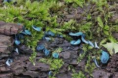 Πράσινοι μύκητες φλυτζανιών νεραιδών Στοκ εικόνα με δικαίωμα ελεύθερης χρήσης