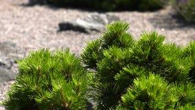 Πράσινοι νέοι βλαστοί του αγριόπευκου απόθεμα βίντεο