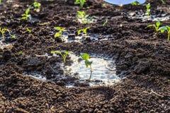 Πράσινοι νέοι φυτικοί βλαστοί μετά από να ποτίσει στοκ φωτογραφία με δικαίωμα ελεύθερης χρήσης