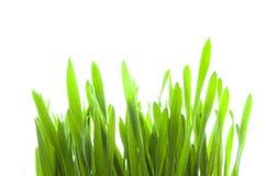 πράσινοι νεαροί βλαστοί στοκ φωτογραφίες με δικαίωμα ελεύθερης χρήσης