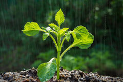 Πράσινοι νεαροί βλαστοί στη βροχή Στοκ Εικόνες