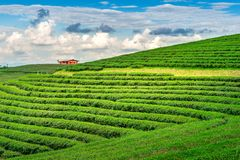 Πράσινοι οφθαλμός και φύλλα τσαγιού Πράσινες φυτείες τσαγιού το πρωί ενάντια ανασκόπησης μπλε σύννεφων πεδίων άσπρο σε wispy ουρα Στοκ Φωτογραφία