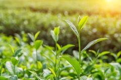 Πράσινοι οφθαλμός και φύλλα τσαγιού Στοκ Εικόνα