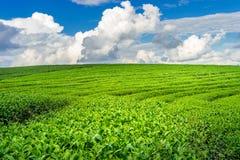 Πράσινοι οφθαλμός και φύλλα τσαγιού Στοκ Εικόνες