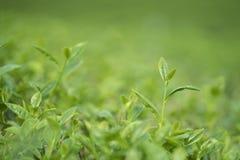 Πράσινοι οφθαλμός και φύλλα τσαγιού στοκ εικόνες με δικαίωμα ελεύθερης χρήσης