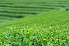 Πράσινοι οφθαλμός και φύλλα τσαγιού τσαγιού στοκ εικόνες με δικαίωμα ελεύθερης χρήσης
