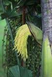 Πράσινοι οφθαλμοί λουλουδιών, areca δέντρο catechu Στοκ εικόνα με δικαίωμα ελεύθερης χρήσης