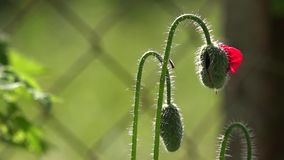 Πράσινοι οφθαλμοί παπαρουνών Παπαρούνα, ένα μικρό αεράκι Δημιουργία μιας διάθεσης Η άποψη καλλιτεχνών ` s απόθεμα βίντεο