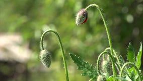 Πράσινοι οφθαλμοί παπαρουνών Παπαρούνα, ένα μικρό αεράκι Δημιουργία μιας διάθεσης Η άποψη καλλιτεχνών ` s φιλμ μικρού μήκους