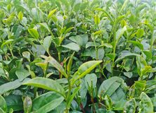 Πράσινοι οφθαλμός και φύλλα τσαγιού στις φυτείες τσαγιού Στοκ φωτογραφία με δικαίωμα ελεύθερης χρήσης