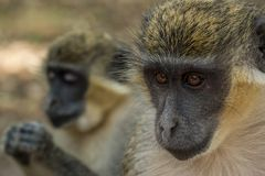 Πράσινοι πίθηκοι Vervet στο δασικό πάρκο Bigilo, η Γκάμπια στοκ εικόνες