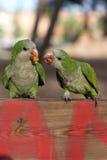 πράσινοι παπαγάλοι Στοκ Φωτογραφία