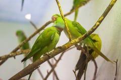 πράσινοι παπαγάλοι Στοκ Φωτογραφίες