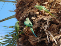 Πράσινοι παπαγάλοι στοκ εικόνα