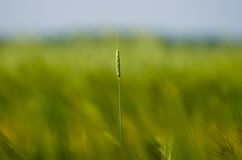 Πράσινοι σπόροι θερινής χλόης τομέων αυτιών Στοκ Εικόνες