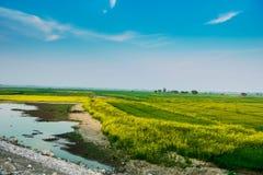 Πράσινοι τομείς με τα κίτρινα λουλούδια στοκ φωτογραφία με δικαίωμα ελεύθερης χρήσης