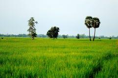 Πράσινοι τομείς ρυζιού στην Ταϊλάνδη. Στοκ Φωτογραφία