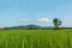 Πράσινοι τομείς ρυζιού της Ταϊλάνδης Στοκ Φωτογραφία