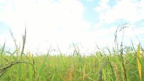 Πράσινοι τομείς ρυζιού, όμορφα τοπία απόψεων στην Ταϊλάνδη απόθεμα βίντεο