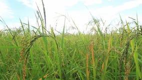 Πράσινοι τομείς ρυζιού, όμορφα τοπία απόψεων στην Ταϊλάνδη φιλμ μικρού μήκους