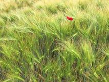 Πράσινοι τομείς σίτου με μια κόκκινη παπαρούνα Στοκ Εικόνες